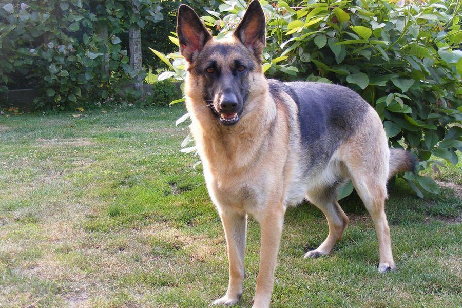 Jeune chien panard ou plantigrade, comment y remédier efficacement ?