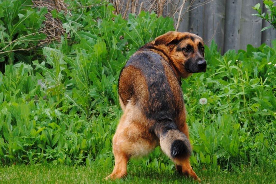 Diarrhée du chien : les croquettes sans céréale sont-elles en cause ?