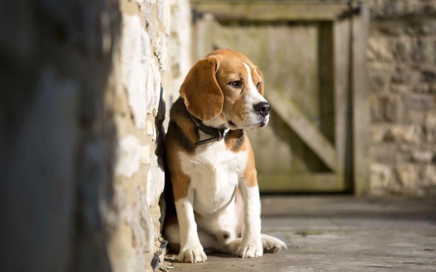 Mon chien boite : une origine à laquelle on ne pense JAMAIS !