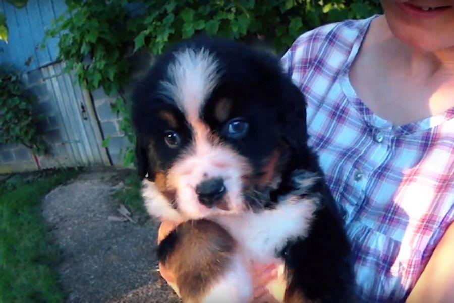 Le Bouvier Bernois, un chien pour enfants et un chien de