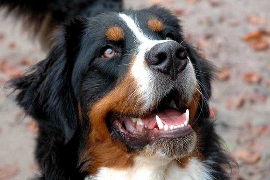 Le détartrage du chien à petit prix et d'une grande simplicité