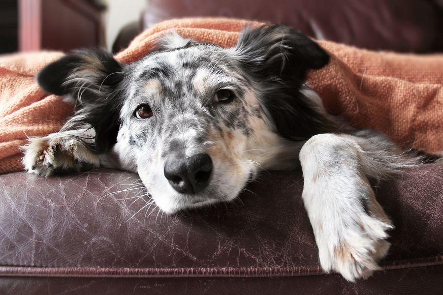 4 ETAPES pour guérir la diarrhée du chien, solution de l'éleveur